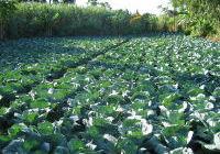 Irrigation - choux.jpg