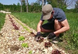 AGROOF_en_plein_suivi_de_croissance_et_de_developpement_des_salades_sur_roumassouze.jpg
