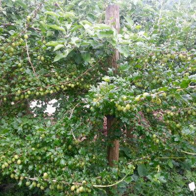 La mini forêt-jardin : groseiller à maquereau