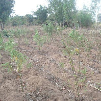 Champ de maïs-pigeon peas récolté et associé avec T. vogelii