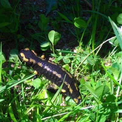 Une salamandre prend le frais